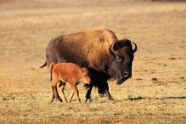 Amerikaans bizon en kalf Premium Foto