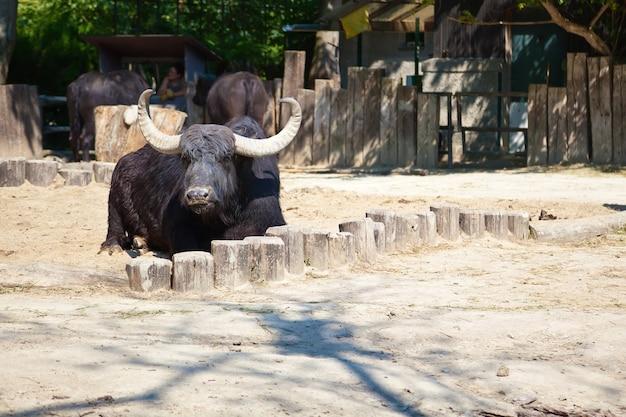 Amerikaanse bizon die op de vloer in een dierentuin ligt Premium Foto