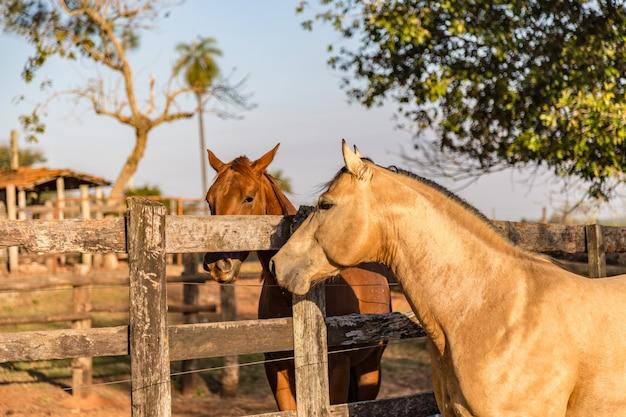 Amerikaanse quarter horse valk hengst Premium Foto