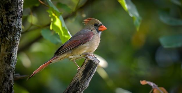 Amerikaanse robin (turdus migratorius) Gratis Foto