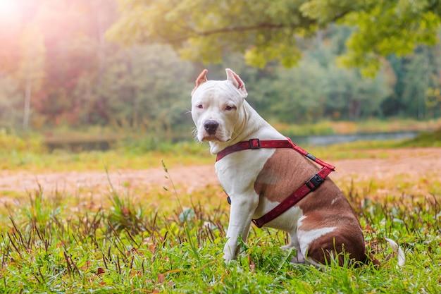 Amstaffhond op een wandeling in het park. grote hond. bright hond. lichte kleur. huisdier. Premium Foto