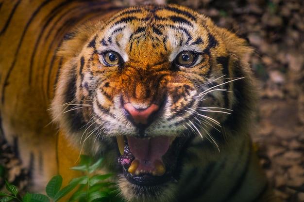 Angry sumatran tiger sumatran tijgergezicht Premium Foto