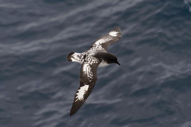 Antarctische stormvogel (thalassoica antarctica) Premium Foto