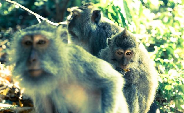 Apen in ubud bali Gratis Foto