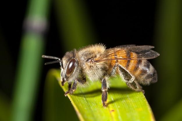 Apis mellifera westerse honingbij europees op blad Premium Foto