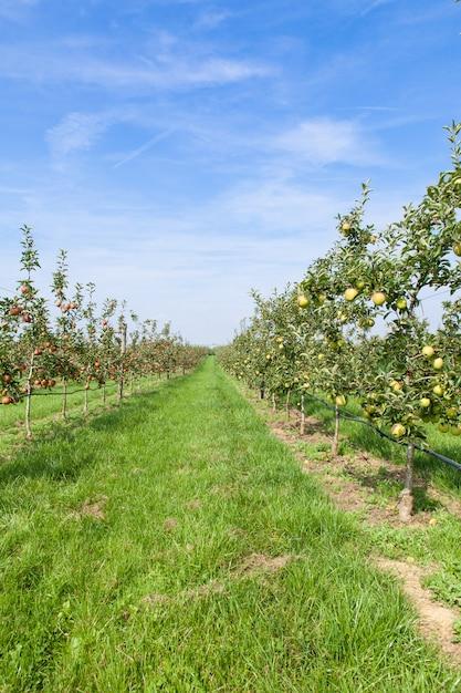 Appelbomen geladen met appels in een boomgaard in de zomer Premium Foto