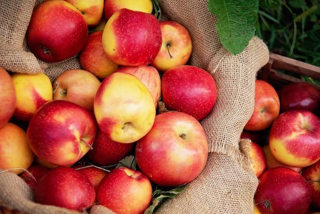 Appeloogst. rijpe rode appels in de mand op het groene gras. Premium Foto