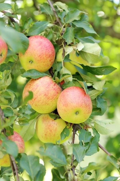 Appels aan een boom Gratis Foto