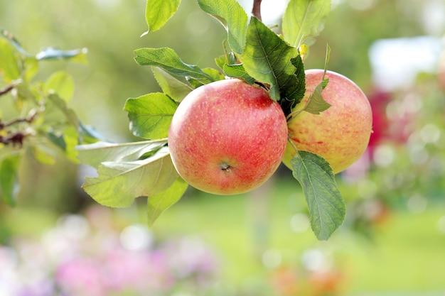 Appels op een boom Gratis Foto