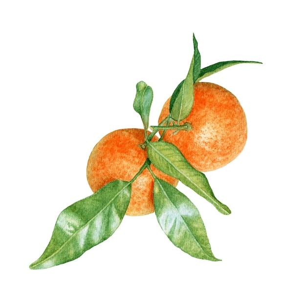 Aquarel mandarijnen met bladeren op witte achtergrond. Premium Foto
