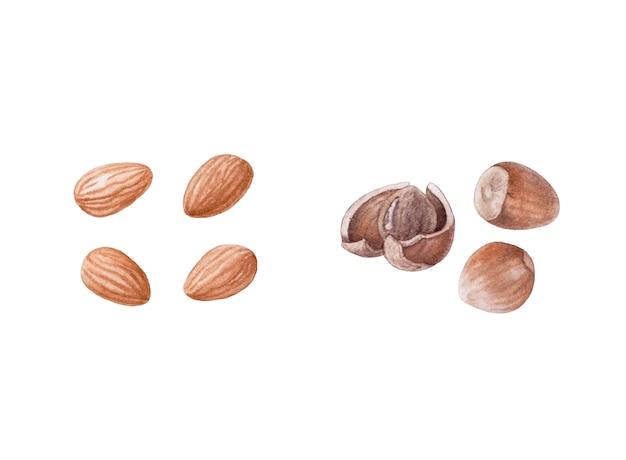 Aquarel noten. amandel, hazelnoten. Premium Foto