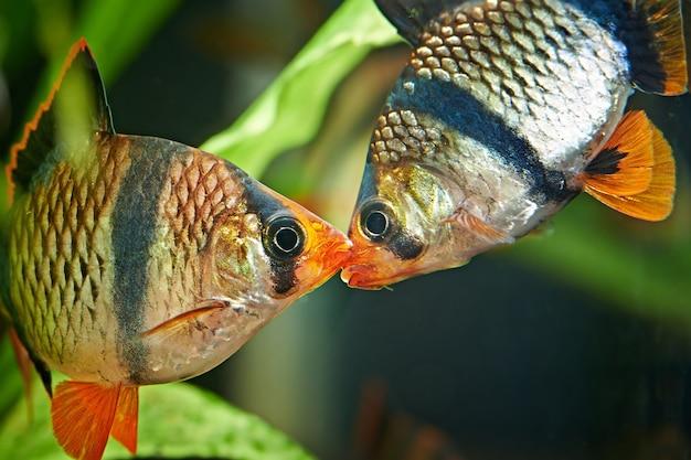 Aquariumvissen - barbus puntius tetrazona in aquarium Premium Foto