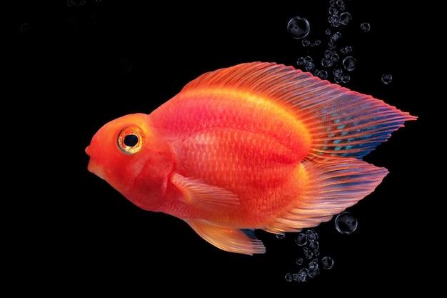 Aquariumvissen rode die papegaai op zwarte achtergrond wordt geïsoleerd Premium Foto