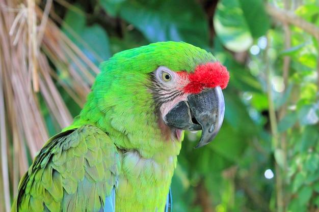 Ara militaris militaire ara groene papegaai Premium Foto