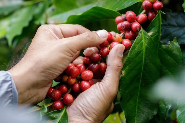 Arabica koffiebessen met landbouwkundige handenrobusta en arabica koffiebessen Premium Foto