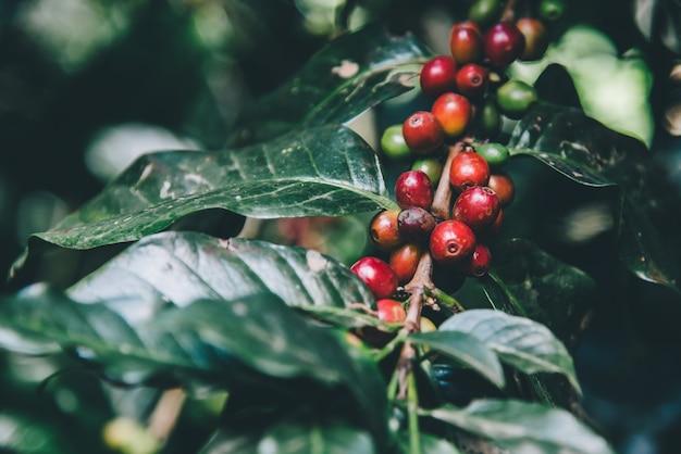Arabicas-koffieboom op koffieboom Premium Foto