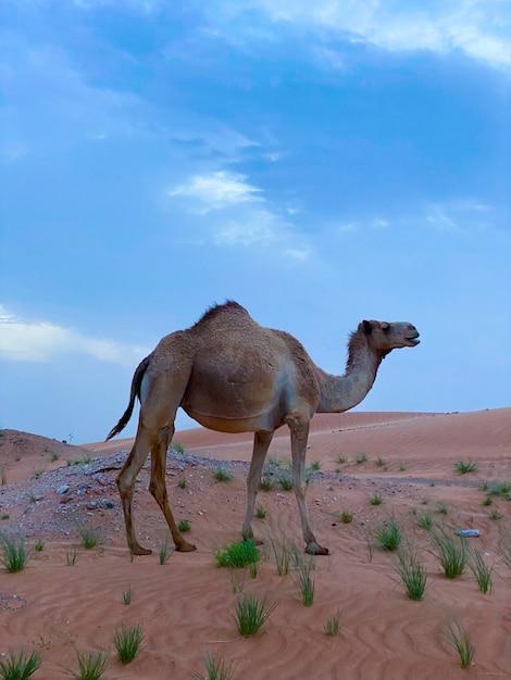 Arabische of dromedaris kameel, camelus dromedarius, enkel zoogdier, oman Premium Foto