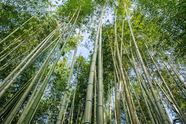 Arashiyama bamboo grove of sagano bamboo forest, is een natuurlijk bamboebos in arashiyama, bezienswaardigheid en populair voor toeristenattracties in kyoto. japan Premium Foto