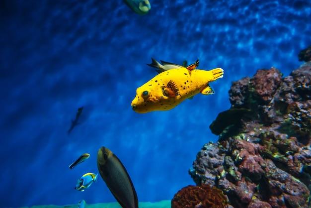 Arothron nigropunctatus-vissen zwemmen in het blauwe water Premium Foto