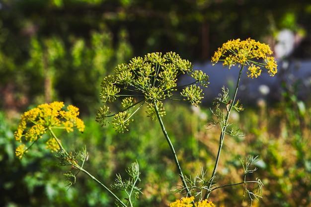 Asafetida planten in het wild. zijaanzicht. Gratis Foto