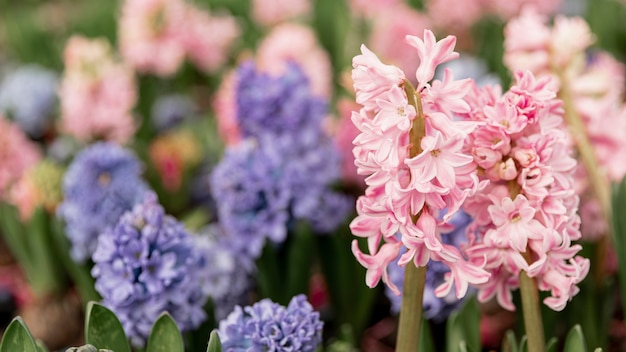 Assortiment met kleurrijke hyacinten Gratis Foto