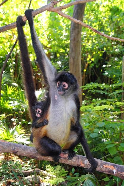 Ateles geoffroyi spider monkey midden-amerika Premium Foto