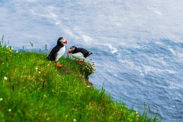 Atlantische papegaaiduiker die zich op een klip in latrabjarg, het meest westelijke punt in ijsland bevindt. beeld die van familie atlantische papegaaiduiker zich op groen gras van winderige klip bevinden. Premium Foto