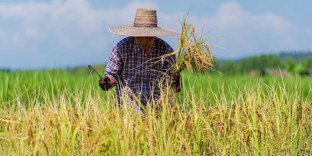 Aziatische landbouwer die in het padieveld onder blauwe hemel werkt Premium Foto