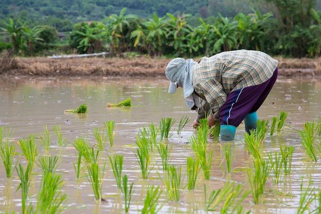 Aziatische landbouwersrijst die op het werk planten Premium Foto