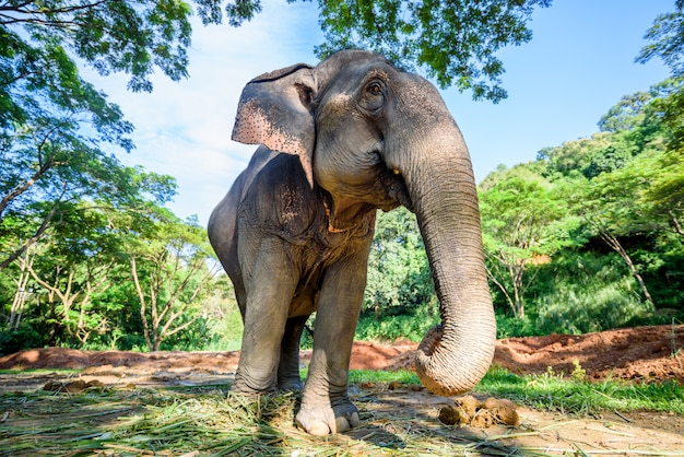Aziatische olifant in aardpark, chiang-mai, thailand Premium Foto