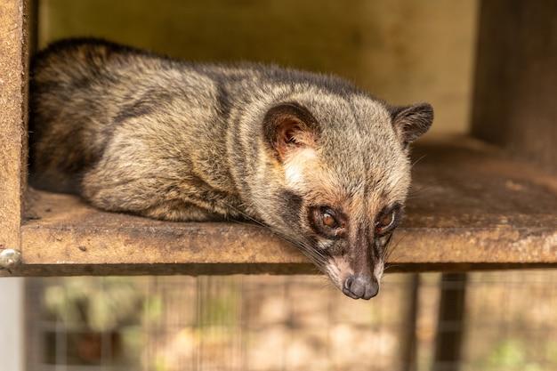 Aziatische palm civet, paradoxurus hermaphroditus, levend in een kooi om dure koffie te produceren, kopi luwak Premium Foto