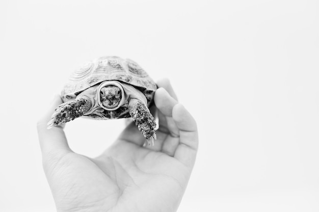 Aziatische schildpad over land die dichtbij van de mens op wit wordt geïsoleerd Premium Foto