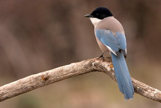 Azuurvleugelige ekster, vogels, corvidae, azuurblauw, ekster, vogels`` cyanopica cyanus Premium Foto