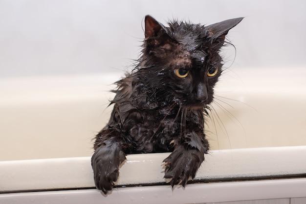 Badende natte zwarte kat met gele ogen Premium Foto