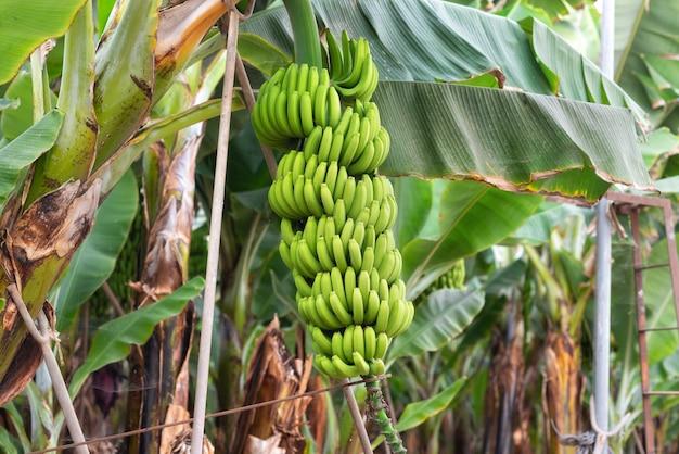 Banaanbos bij de banaanaanplanting Premium Foto
