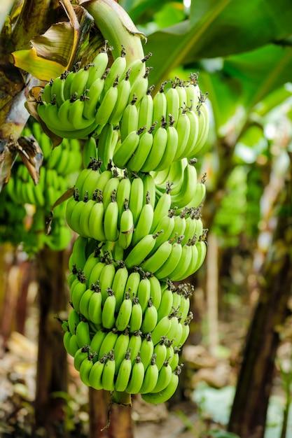 Bananen veld Premium Foto