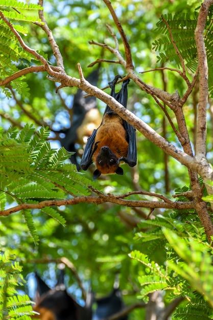 Bat (lyle's vliegende vos, pteropus lylei of pteropodidae) hangend hangend Premium Foto