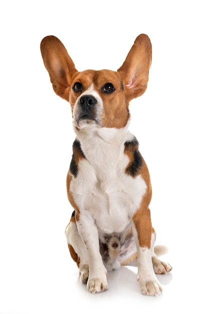 Beagle geïsoleerd Premium Foto
