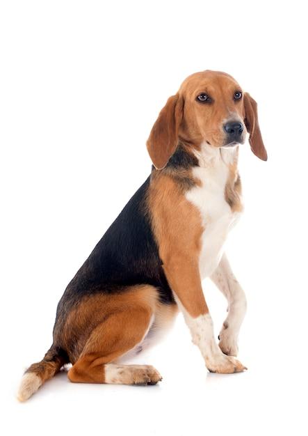 Beagle harrier Premium Foto