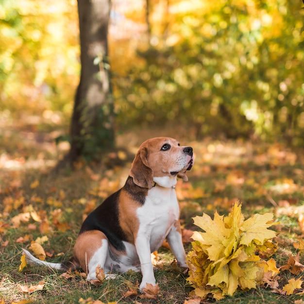 Beagle hond zit in het bos Gratis Foto