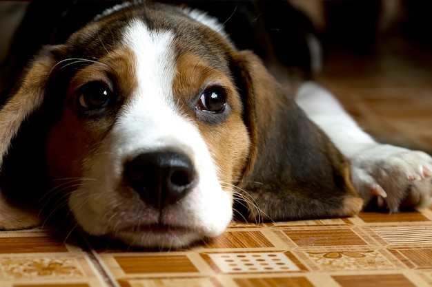 Beagle (hound) puppy op de vloer liggen Premium Foto