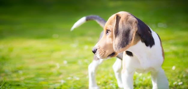 Beagle puppy hond portret Premium Foto