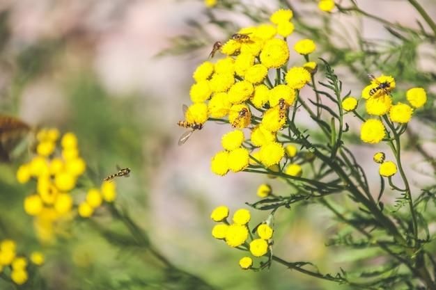 Bee verzamelen van nectar van een bloem in een veld op de weide Premium Foto