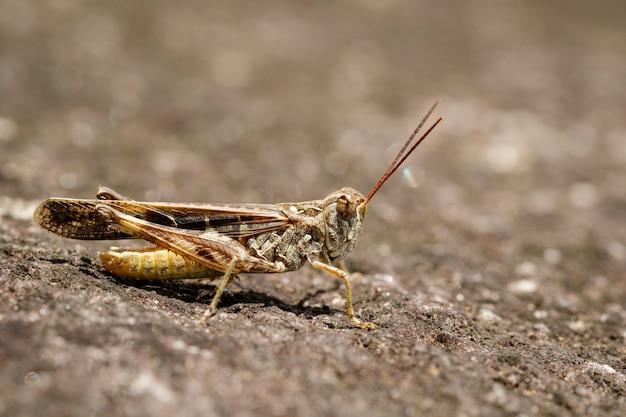 Beeld van bruine sprinkhaan op de vloer. insect. dier Premium Foto