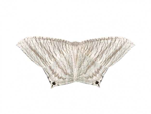 Beeld van gerichte flatwing-vlinder (micronia-aculeata) op witte achtergrond wordt geïsoleerd die Premium Foto