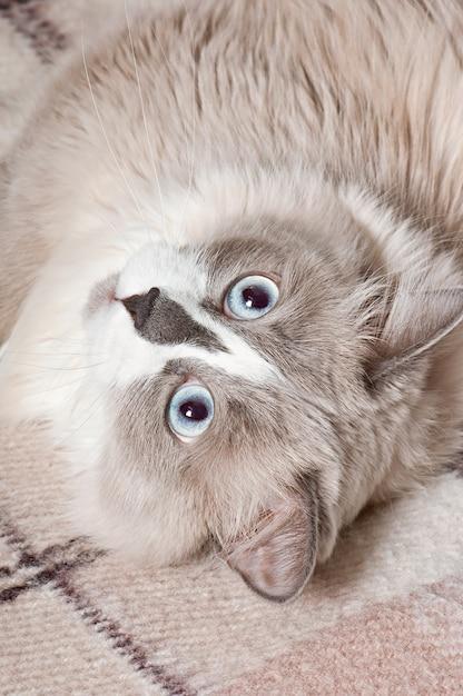 Beige kat liggend in de bank Gratis Foto
