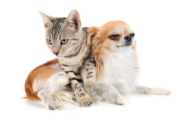 Bengaalse kat en chihuahua Premium Foto