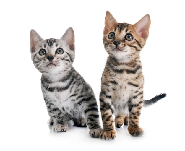 Bengaalse kitten geïsoleerd Premium Foto