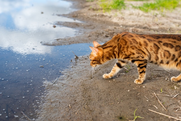 Bengaalse rasechte kat loopt in de natuur op een zomerdag Premium Foto