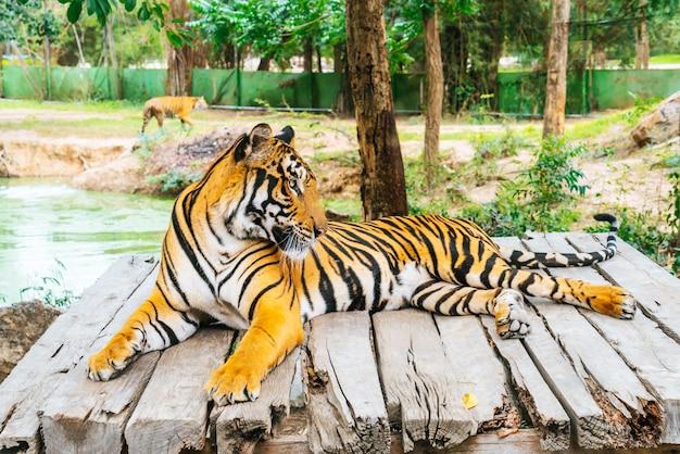 Bengaalse tijger liggend hout Premium Foto